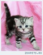 Британские котята черный мрамор на серебре