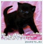Британские черные котята с документами.