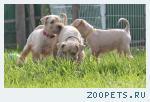 Уитен-терьер — продаются щенки!