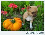 Купить щенка чихуа-хуа, разноцветные мальчик и девочка, РКФ.