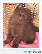 Британские шоколадные котята из питомника.
