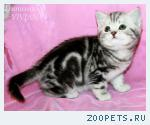 Британские котята черный мрамор на серебре.