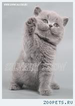 Клубные котята британской породы.