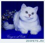Британские шиншиллы голубоглазки котята шоу-класс