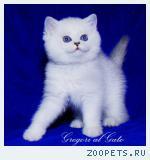 Британские котята Серебристые шиншиллы с голубыми глазками