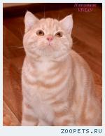 Британские котята красный мрамор из питомника.