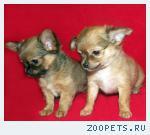 Чихуахуа,  яркие, нарядные  щенки