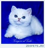 Британские шиншиллы котята с голубыми глазами шоу-класс