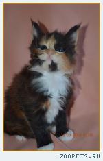 Котята мейн-кун из питомника от чемпионов породы