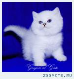 Британские шиншиллы котята c cсапфировыми глазками