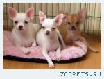 Чихуахуа,  яркие, нарядные  щенки по разумной цене