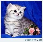 Британские котята Серебристые тебби с изумрудными глазками