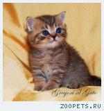 Британские котята золотые тебби с изумрудными глазками