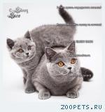 Без британского кота жизнь конечно же не та!