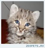 Котятки Канадских и Европейских рысят