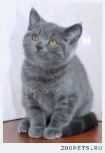 Британские голубые котята из питомника.