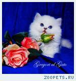 Белоснежные британские синеглазые длинношерстные котята шиншиллы