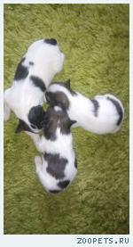 Продаются щенки папийона, перспективные