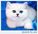 Британские шиншиллы с голубыми, фиалковыми и сапфировыми глазами