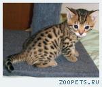 Бенгальские котята розетка на золоте
