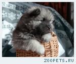 Продаю щенка кеесхонда/вольфшпица