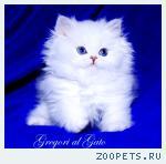Белоснежные длинношерстные британские синеглазые котята шиншиллы