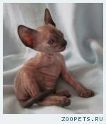 Корниш-рекс кудрявые котята