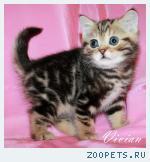 Британские мраморные котята из питомника.