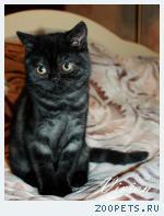 Британские черные котята из питомника.