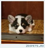 Продается щенок Вельш корги пемброк