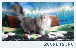 Котята-кошечки шотландские длинношерстные прямоухие.