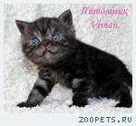Британский клубный котик черный дым.
