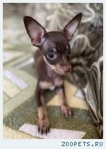 Купить щенка той-терьера в Москве. РКФ.