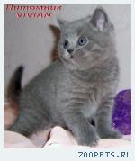 Британский клубный котик голубого окраса.